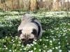 Mops Otiz auf der Blumenwiese