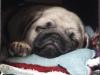 Mops Welpe Otiz schläft