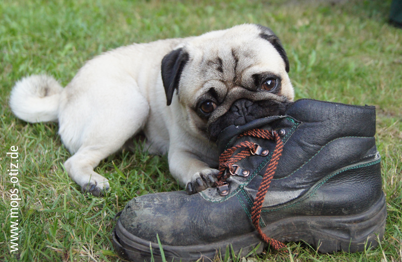 Mops Otiz kaut auf einem Schu herum