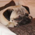 Mops schläft